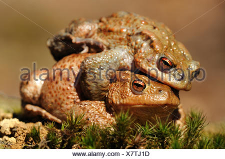 Common Toads or European Toads (Bufo bufo), pair mating, during the spring migration, North Rhine-Westphalia, Germany - Stock Photo