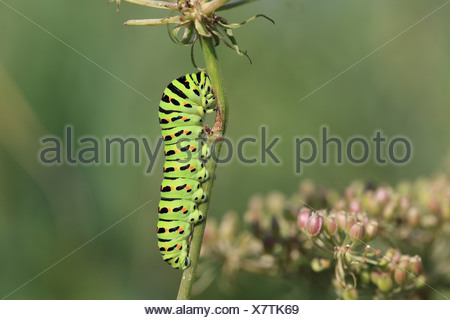 Common Swallowtail (Papilio machaon britannicus) British race caterpillar feeding on Milk Parsley (Peucedanum palustre) - Stock Photo