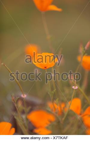 Orange Calif Poppy - Stock Photo