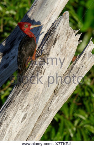 Red-necked (Campephilus rubricollis) perched on a branch in the Amazon of Brazil. - Stock Photo