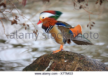 mandarin duck (Aix galericulata), male on a stone in water, Germany - Stock Photo