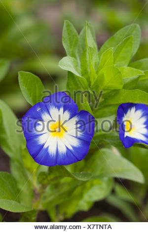 Dwarf convolvulus, Dwarf Morning Glory, Dwarf glory bind (Convolvulus tricolor, Convolvulus minor), blooming - Stock Photo
