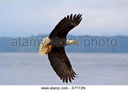 zoology / animals, avian / bird (aves), Bald eagle in flight with a fresh caught rock fish in its powerful talons, Pacific Ocean off the British Columbia coast, Canada., No-Exclusive-Use - Stock Photo