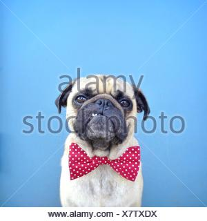 Portrait of a Pug dog wearing bow tie - Stock Photo