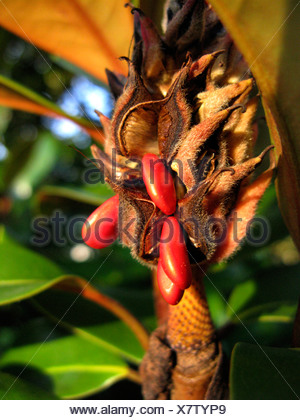 Southern Magnolia, Bull Ray, Evergreen Magnolia (Magnolia grandiflora), seeds - Stock Photo