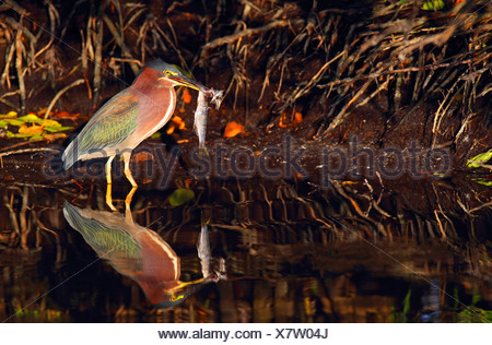 Green-backed Heron, Green Backed Heron (Butorides spinosa), eating a fish, USA, Florida, Merritt Island Stock Photo