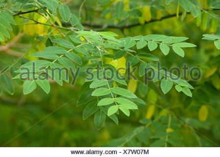 Japanese Pagoda Tree or Chinese Scholar (Styphnolobium japonicum), leaves, park tree, native to Japan, Korea and China - Stock Photo