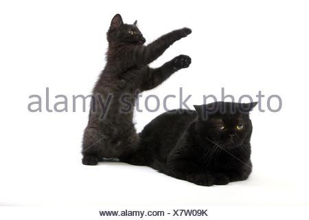 Black British short hair cat,mother animal,kitten,white background, - Stock Photo