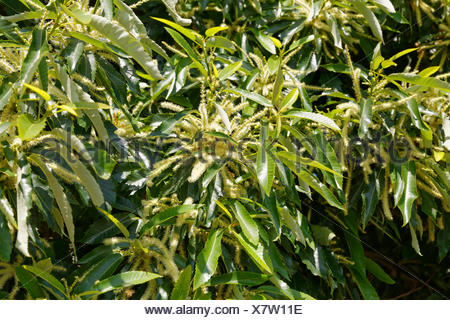 Flowers and leaves, sweet chestnut (Castanea sativa), Burgenland, Austria - Stock Photo