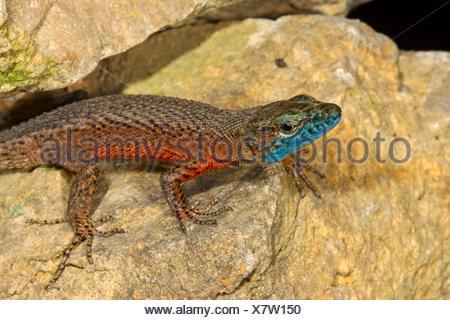 Blue-throated keeled lizard, Dalmatian Algyroides (Algyroides nigropunctatus), male on stones - Stock Photo