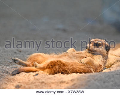 Meerkat or suricate (Suricata suricatta), juvenile, 6 months, relaxed, captive - Stock Photo