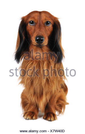 Long-haired Dachshund, Long-haired sausage dog, domestic dog (Canis lupus f. familiaris), full-lenght portrait, Germany - Stock Photo