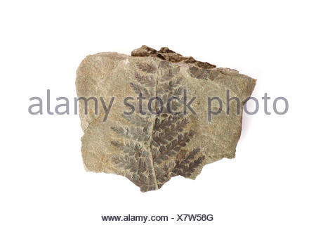 fossil of a wood fern (Pecopteris arborescens) from the Carboniferous period - Stock Photo