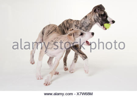 Whippet, puppies, male dog, 12 weeks - Stock Photo
