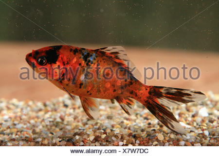 Shubunkin goldfish - Stock Photo