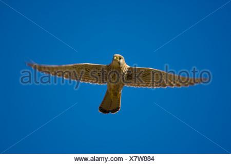 common kestrel (Falco tinnunculus), flying, Austria, Burgenland, Neusiedlersee NP - Stock Photo