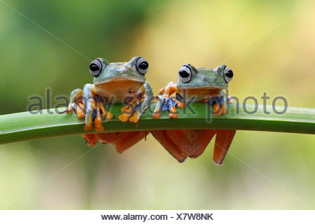 Two Javan tree frogs sitting on a plant - Stock Photo