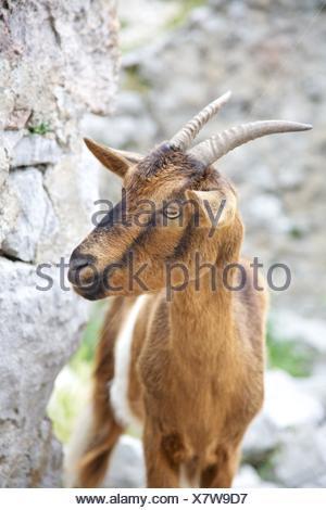goat Capra Pyrenaica at Gorge of River Cares in Asturias Spain - Stock Photo