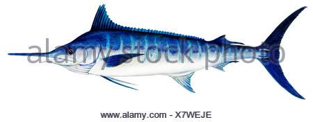 Atlantic Blue Marlin (Makaira nigricans), drawing.