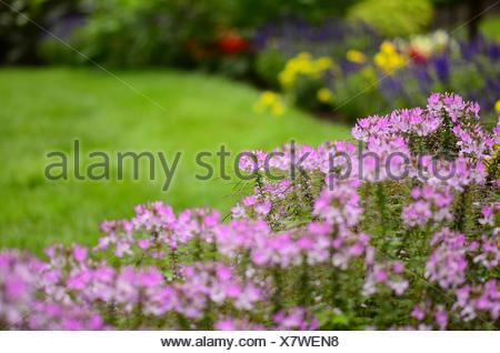 Cleome flowers in very soft focus highlight the flower garden, Pennsylvania, USA. - Stock Photo