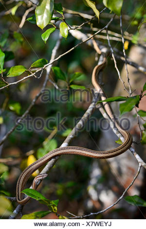 Madagascar's grass snake (Mimophis mahfalensis), creeps on a branch in a tree, Madagascar, Nosy Be, Naturreservat Lokobe - Stock Photo