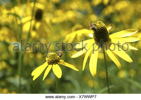 Angustifolia, Aussenaufnahme, Bluete, Blueten, Bluetenblaetter, Bluetenblatt, Bluetenpflanze, Bluetenpflanzen, Blume, Blumen, Bl - Stock Photo