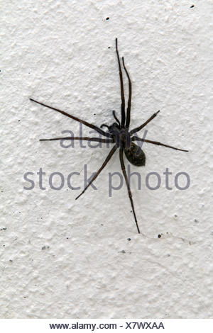 Eratigena atrica, giant house spider - Stock Photo