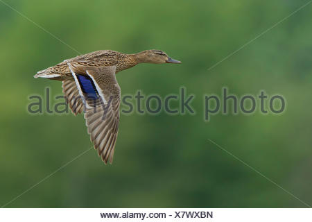 Female mallard (Anas platyrhynchos) in flight, Rhine-Main region, Hesse, Germany - Stock Photo