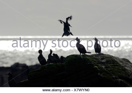 Shag Phalacrocorax aristotelis Scotland UK - Stock Photo