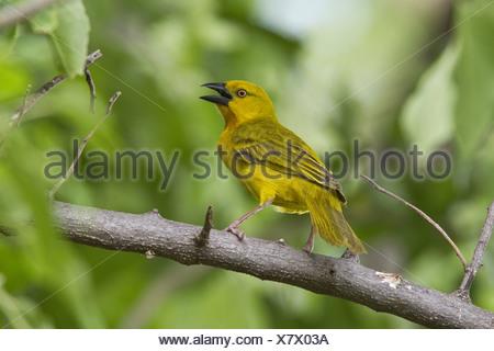 Male Golden Weaver - Lebala, Botswana - Stock Photo
