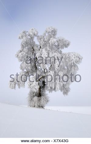Silver Birch (Quercus robur) covered in thick hoar frost, Biosphaerengebiet Schwaebische Alb biosphere reserve, Swabian Alb - Stock Photo