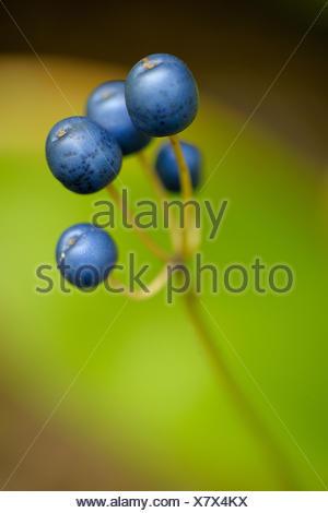 Blue bead lily Clintonia borealis berries - Stock Photo