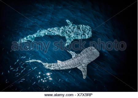 Whale sharks in the Gulf of Tadjoura. - Stock Photo