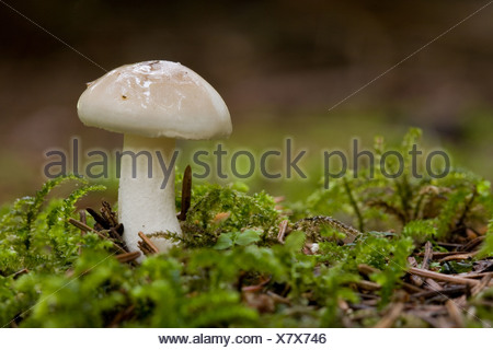 White Domecap (Lyophyllum connatum) - Stock Photo