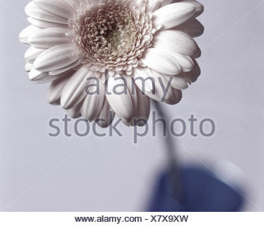 Gerbera, blossom, white, vase, blue, flower, plant, cut flower, composites, tongue blossoms, petals, flower head, summer flower, decoration, Deko, Still life, product photography - Stock Photo