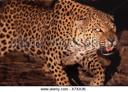 Leopard snarling Namibia - Stock Photo