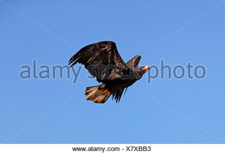 Bald Eagle, haliaeetus leucocephalus, Immature in Flight against Blue Sky - Stock Photo