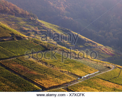 Vineyards in autumn, Mayschoß, Ahrtal, Eifel, Rhineland-Palatinate, Germany - Stock Photo