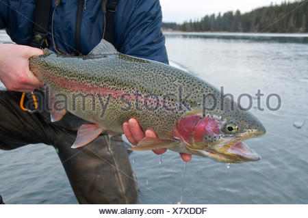 Flyfisherman Holds A Rainbow Trout Along The Kenai River During Winter In Alaska - Stock Photo