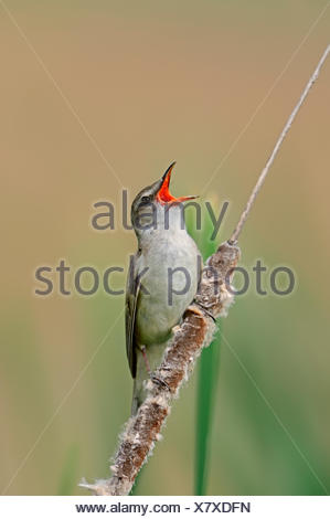 Great Reed Warbler (Acrocephalus arundinaceus), singing male, Central Macedonia, Greece - Stock Photo