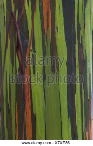 Rainbow Eucalyptus Eucalyptus deglupta) close-up multi-coloured bark New Zealand - Stock Photo