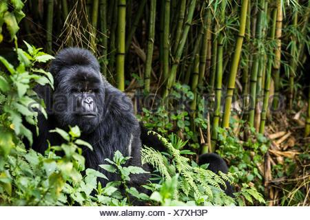 Silverback Mountain gorilla (Gorilla beringei) in the bamboo forest, this is Munyinya the leader of Hirwa group, Sabyinyo volcano, Volcano National Park, Rwanda - Stock Photo