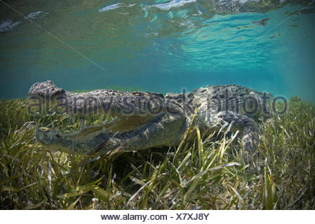 American crocodile (Crocodylus Acutus) crawls in shallows, Chinchorro Atoll, Mexico - Stock Photo