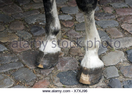 Legs and hoofs with horseshoes of a white horse standing on granite pavement - Stock Photo
