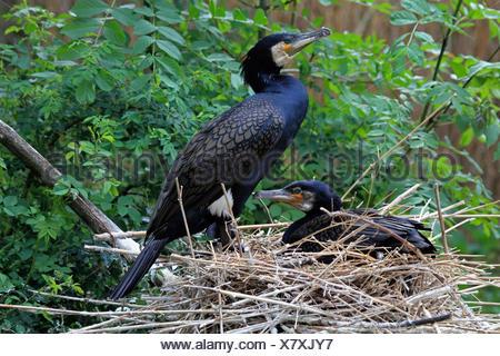 great cormorant (Phalacrocorax carbo), at the nest, Germany - Stock Photo