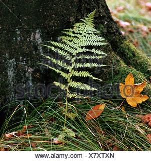 botany, ferns, Common Bracken, (Pteridium aquilinum), in front of tree trunk, Brackens, Filicatae, Filices, Filicinae, Hypolepid - Stock Photo