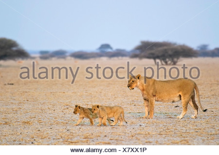Lioness (Panthera leo) is walking with her cups, Nxai Pan, Makgadikgadi Pans National Park, Botswana, Africa - Stock Photo
