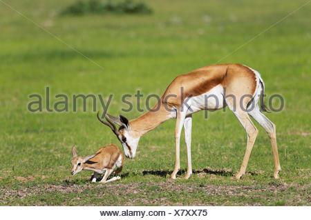 Springboks (Antidorcas marsupialis), ewe stimulates newborn lamb to get up and walk, during the rainy season in green - Stock Photo
