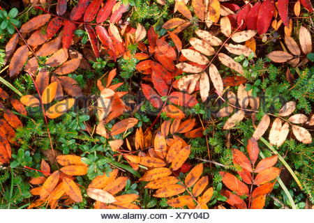 Autumn leaves of European Rowan (Sorbus aucuparia) covering the forest floor, Pragser Wildsee, Bolzano-Bozen, Italy, Europe - Stock Photo