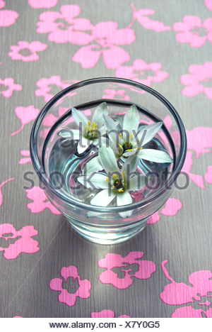 Sleepydick or Star-of-Bethlehem (Ornithogalum umbellatum) flowers in a glass of water on a floral background - Stock Photo